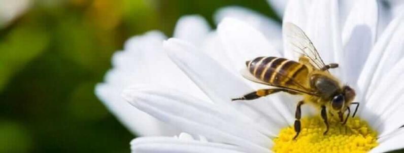 Arı Sokması Ölüme Neden Olur Mu? İşte cevabı!